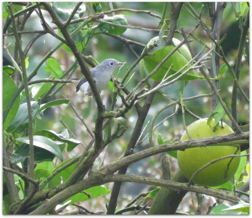 littlegraybird