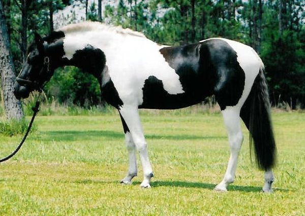 Pinto_sport_horse_mare