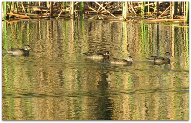 4woodducks