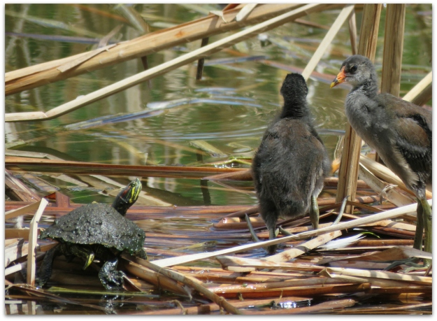 Loons And Turtles And Cranes Oh My >> Birds And A Turtle And An Otter Oh My Amy S Birds