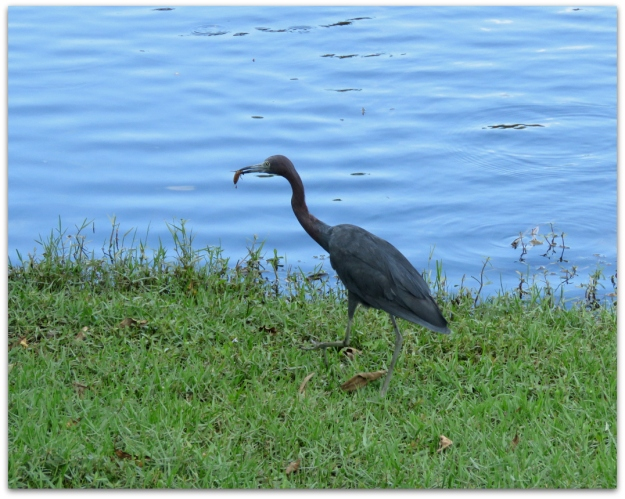 Little Blue Heron Grabbed A Big Brown Bug From The Grass Dropped It In Water For Second Then Swallowed Whole